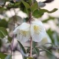 冬咲きのクレマチス・シルホサ系ジングルベルの写真
