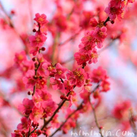 梅の花・ピンクの画像