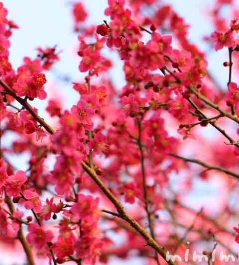 梅の花・ピンク色の梅(花の写真&花言葉)