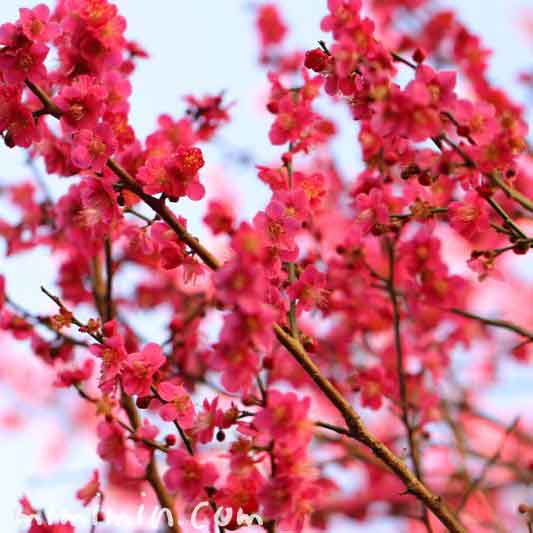 梅・ピンクの写真