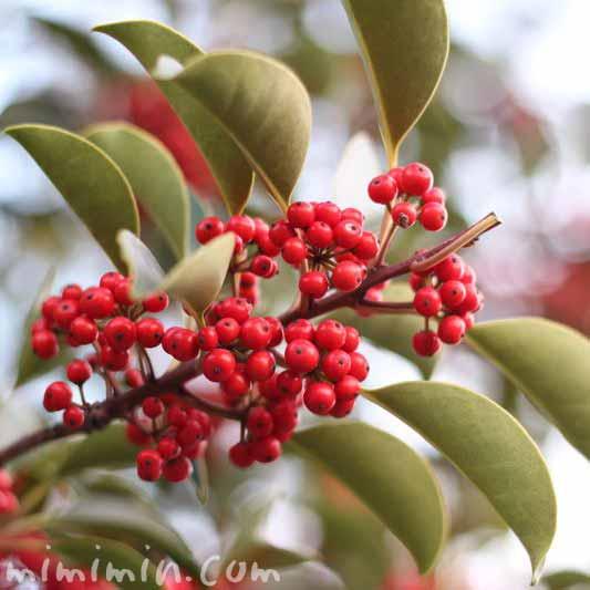 クロガネモチ・赤い実の画像