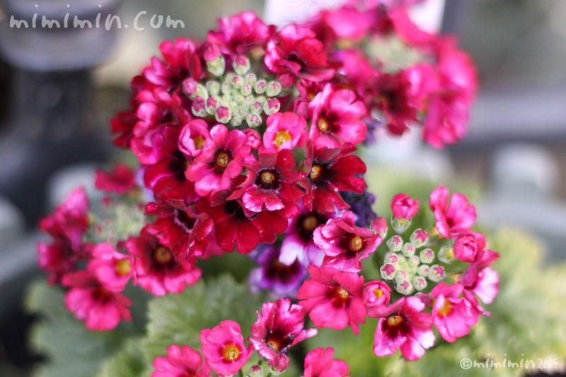 プリムラ マラコイデス(濃いピンク)の写真2