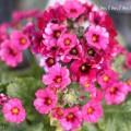 プリムラ マラコイデス(濃いピンク)の写真
