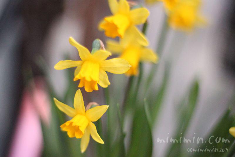 黄色のラッパ水仙の写真