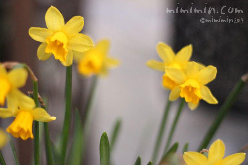 黄色のラッパ水仙の写真2