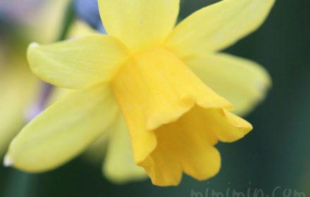 ラッパ水仙の花(黄色)の写真