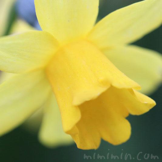 喇叭水仙の花(黄色)の写真