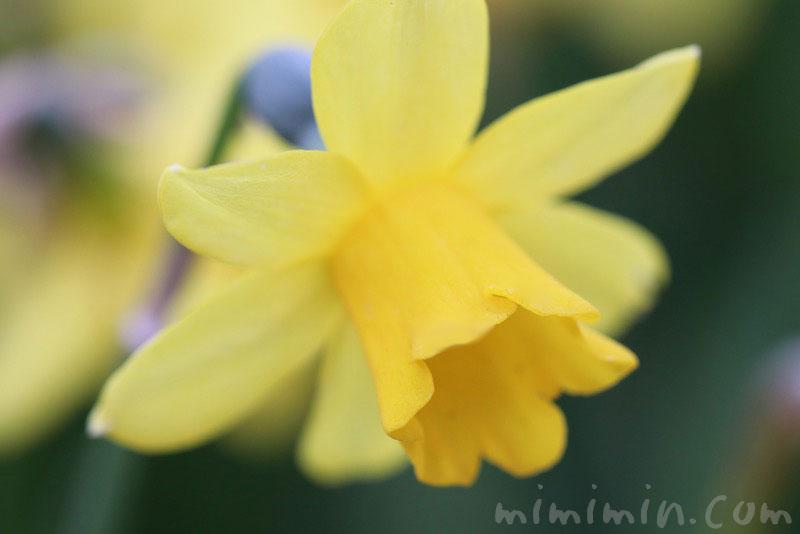 ラッパ水仙(黄色)の写真