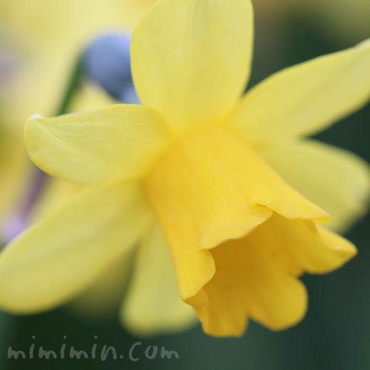 喇叭水仙(黄色)の画像