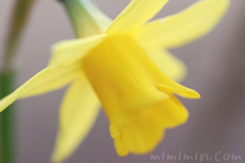ラッパズイセン(黄色)の画像