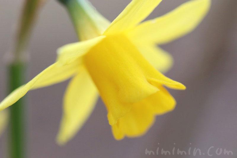 ラッパズイセンの花(黄色)の画像