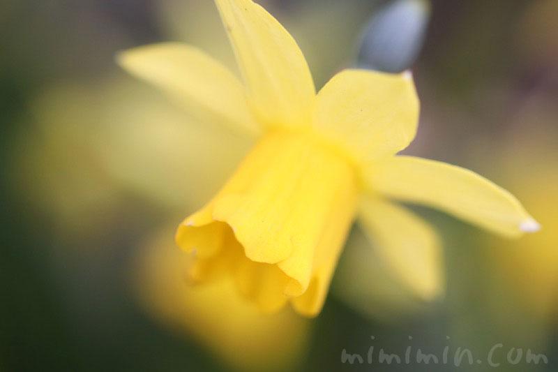 ラッパスイセンの花(黄色)の写真