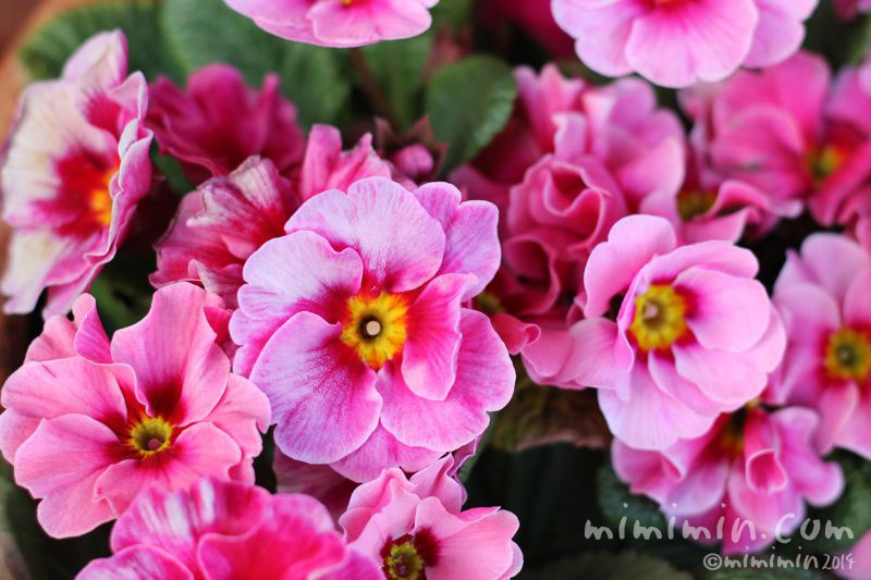 ピンクのプリムラの写真