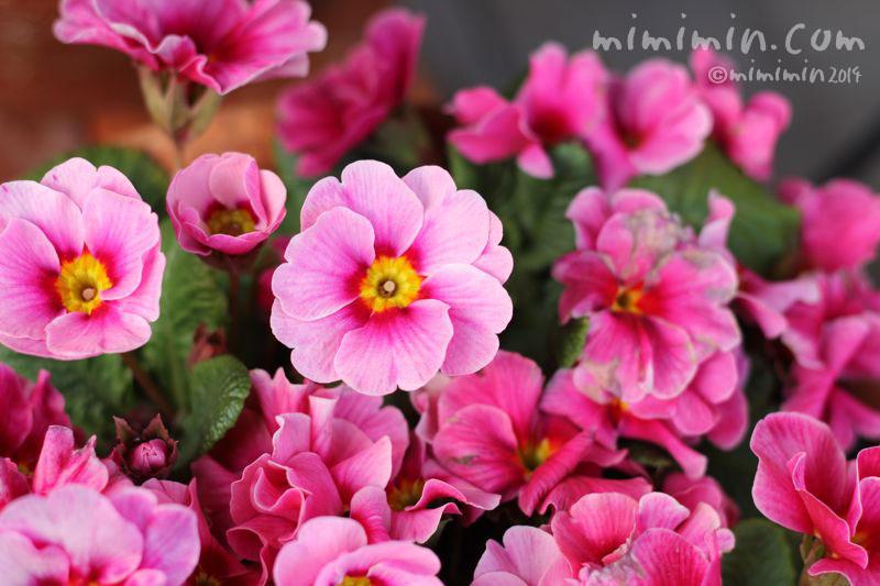 ピンクのプリムラの写真2