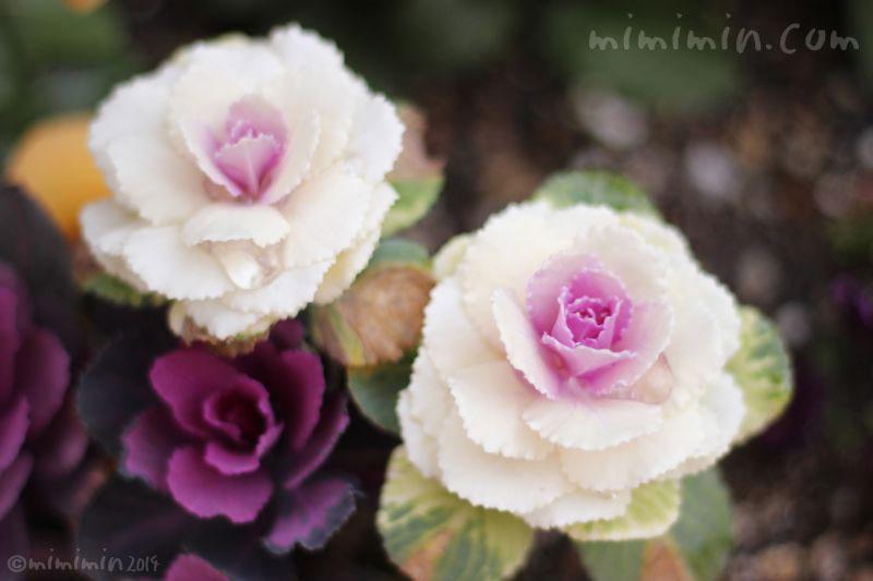 紫と白のハボタン(葉牡丹)の写真2