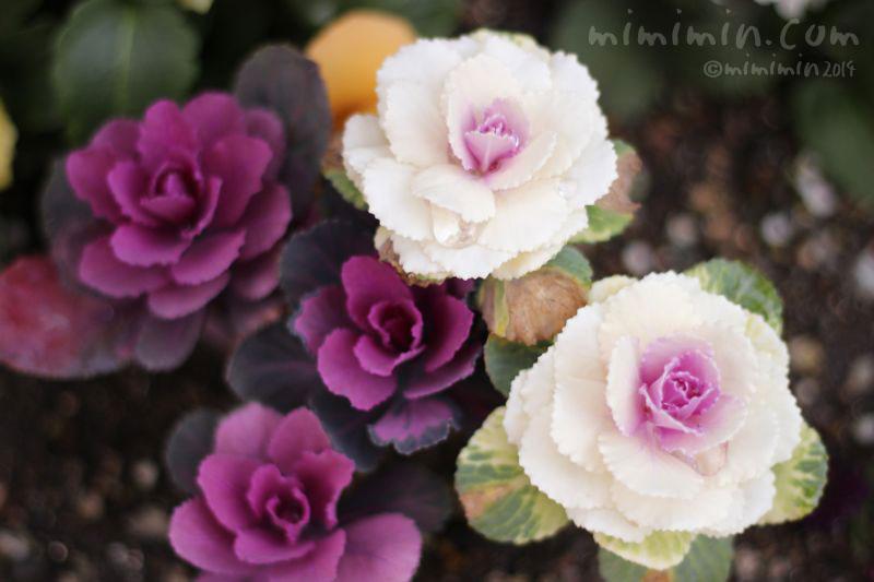 紫と白のハボタン(葉牡丹)の写真