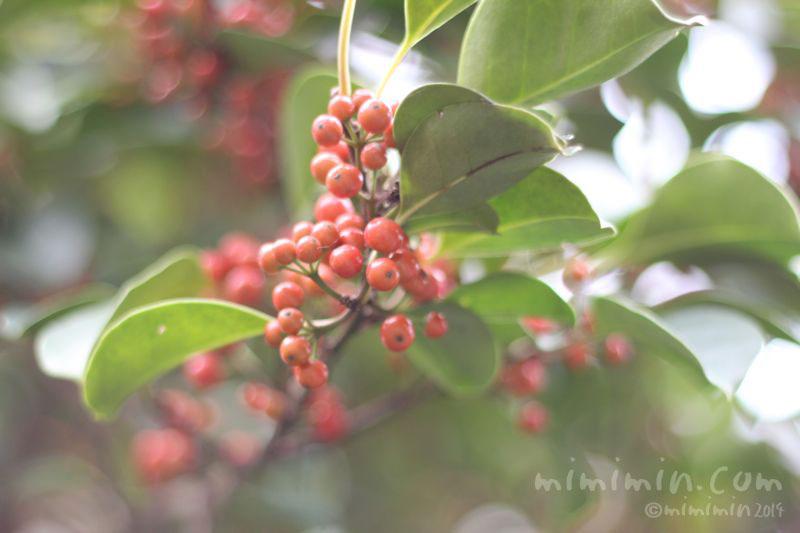 クロガネモチの赤い実の写真