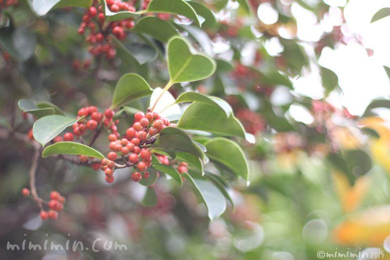 クロガネモチの赤い実2の写真