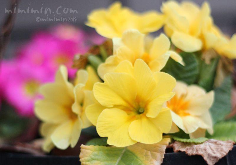 黄色のプリムラの写真