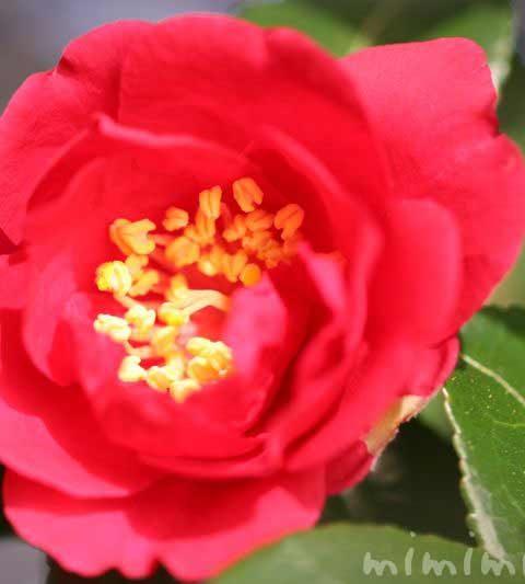 サザンカの花の写真・花言葉・サザンカの名前の由来