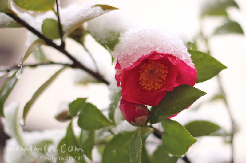 サザンカと雪の写真4