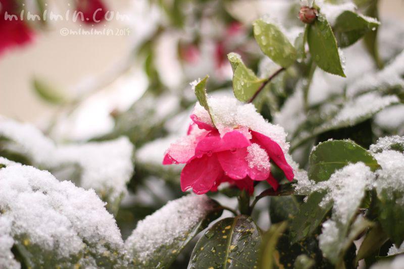 サザンカと雪の写真3