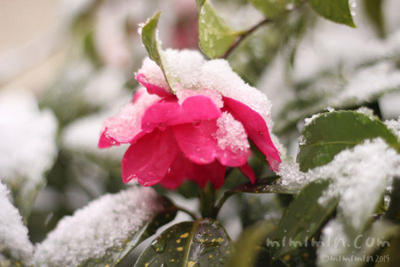 サザンカと雪の写真
