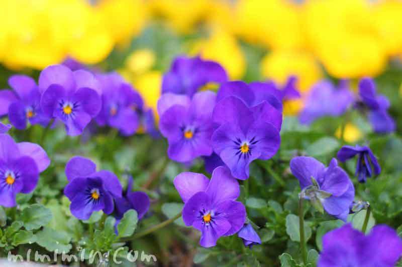 パンジーの花の写真 青紫色