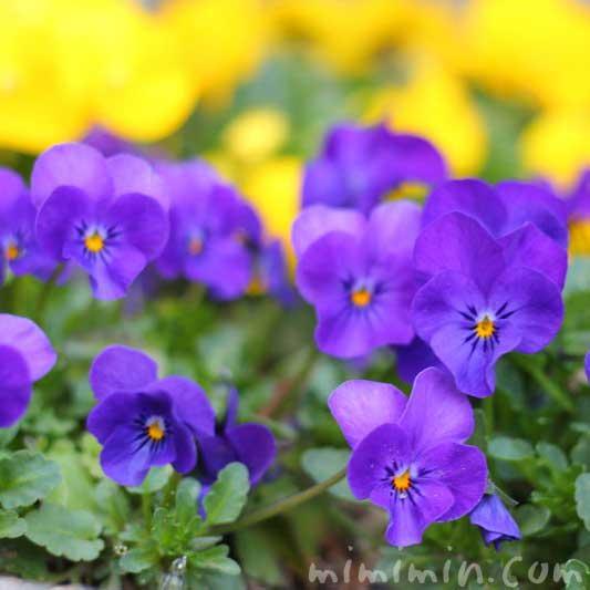 パンジー 青紫色の画像