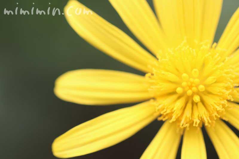 マーガレットコスモス・黄色の写真
