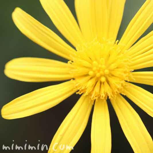 マーガレットコスモス・黄色の花の画像