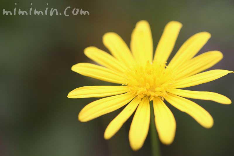 マーガレットコスモスの花の写真・黄