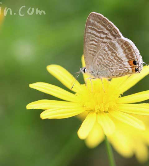 ユリオプスデージーの花の写真&花言葉