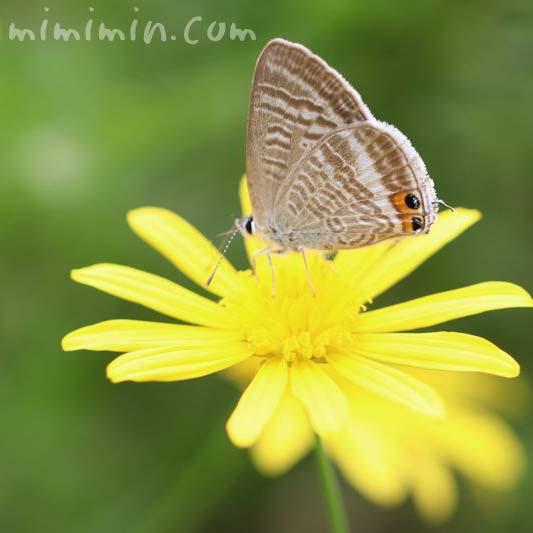 シジミチョウとマーガレットコスモスの花の写真