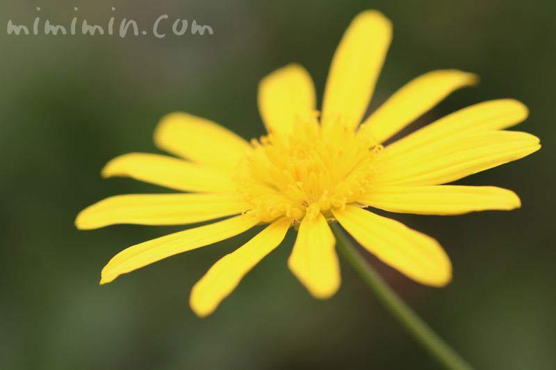 マーガレットコスモスの花の写真・黄色