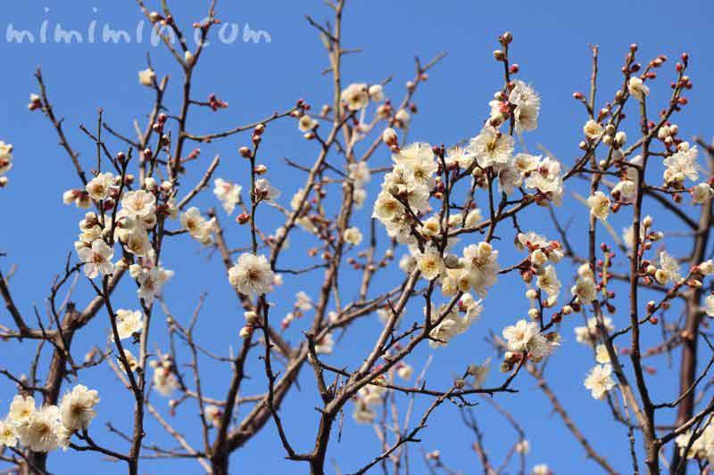 白梅の花の画像