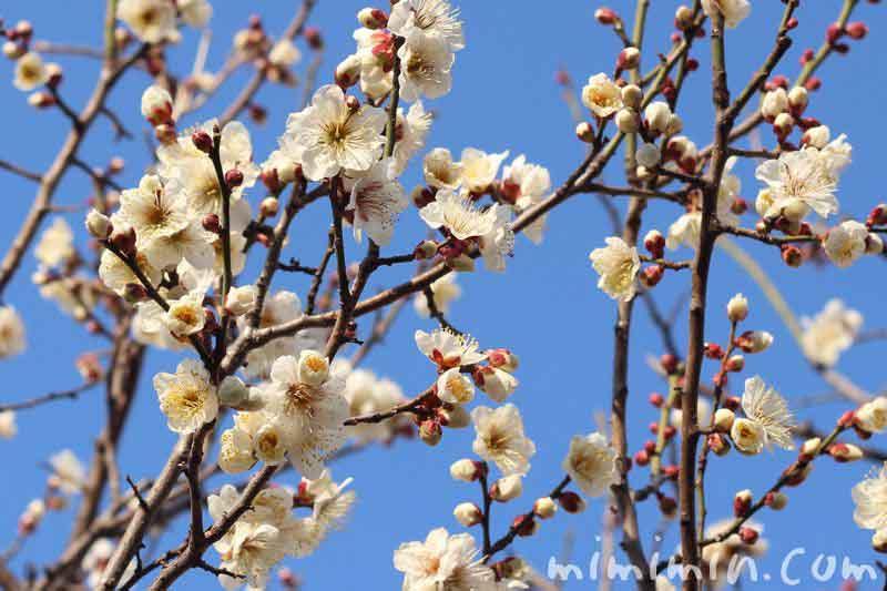 白い梅の花の写真