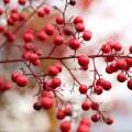 ナンテン(南天)の赤い実の写真