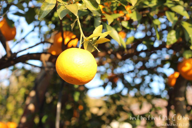 柑橘系の実(はっさく・甘夏・夏みかん)の写真2