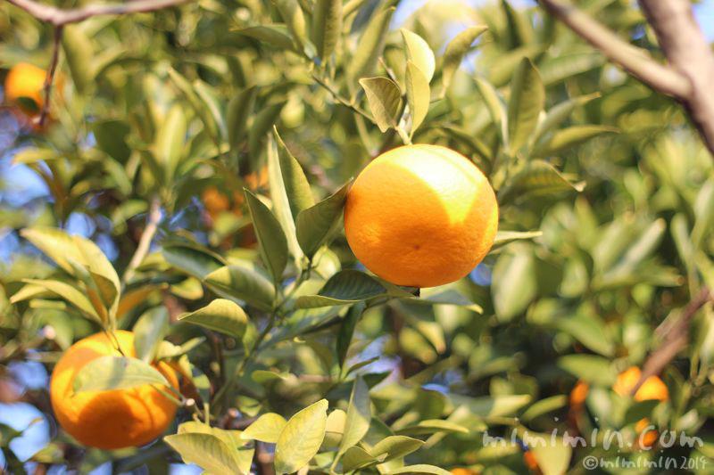 柑橘系の実(はっさく・甘夏・夏みかん)の写真3