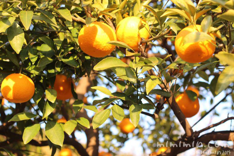 柑橘系の実(はっさく・甘夏・夏みかん)の写真