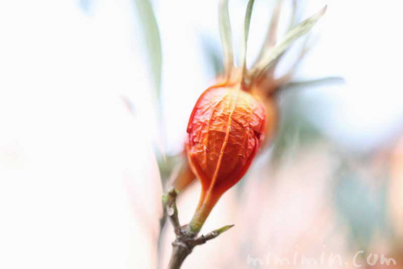 クチナシの実の写真と花言葉と誕生花の画像