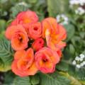 オレンジ色のプリムラの写真
