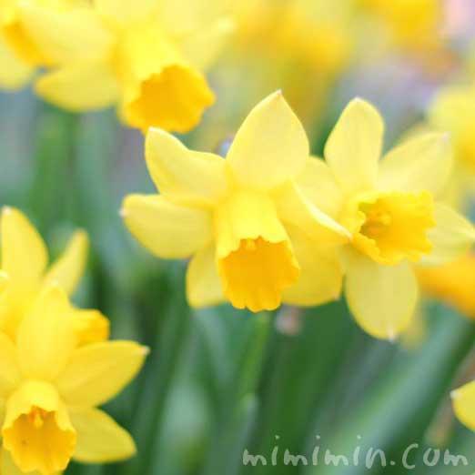 黄色の水仙(スイセン)の画像