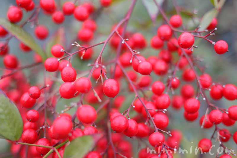 ナンテンの赤い実(南天)の写真