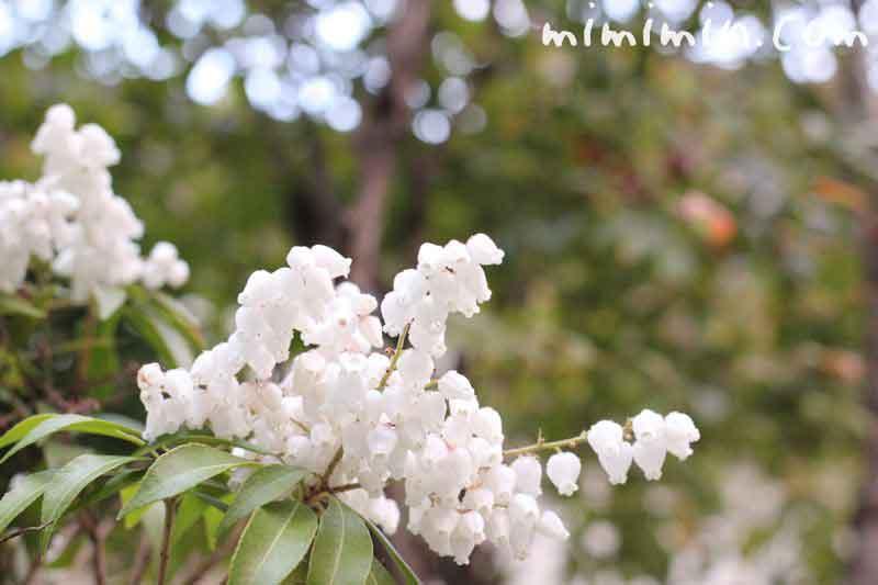 アセビの花の写真
