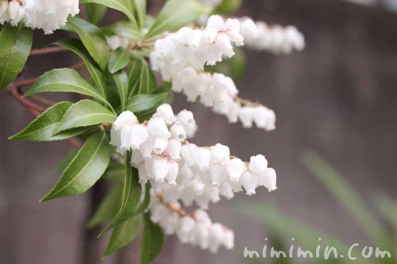 アセビ(馬酔木)の花の写真