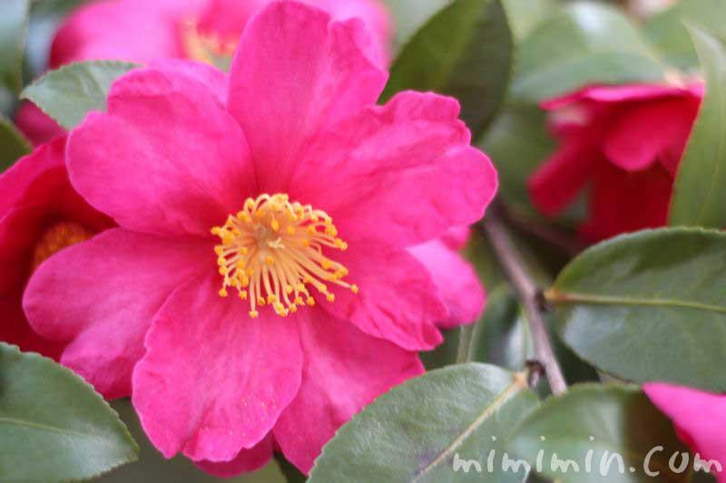 サザンカの花の写真 ピンク