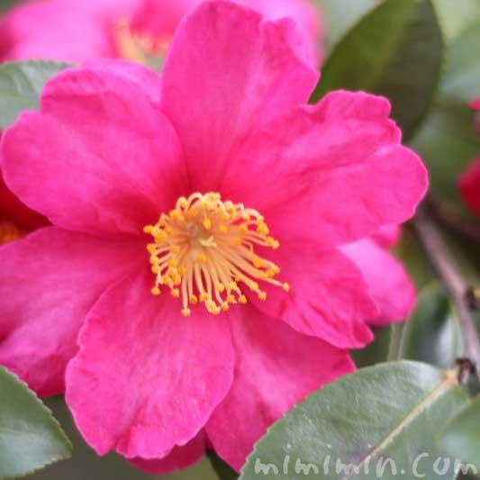 サザンカ ピンクの画像