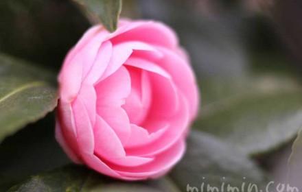 ピンク色の八重咲きツバキの写真